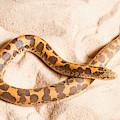 Kenyan Sand Boa Eryx Colubrinus by David Kenny