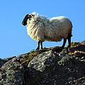 Kerry Hill Sheep by Aidan Moran