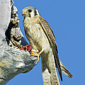 Kestrel At Nest by Anthony Mercieca