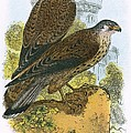 Kestrel by English School