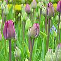 Keukenhof Gardens 12 by Mike Nellums