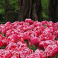 Keukenhof Gardens 16 by Mike Nellums