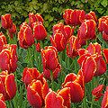 Keukenhof Gardens 28 by Mike Nellums