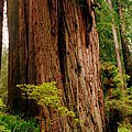 Kevin And The Big Tree - Redwood National Forest by Michelle Calkins