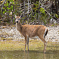 Key Deer Portrait by John M Bailey