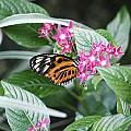Key West Butterfly Conservatory - Monarch Danaus Plexippus 2 by Ronald Reid