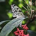 Key West Butterfly Conservatory - Idea Leuconoe by Ronald Reid