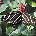 Key West Butterfly Conservatory - Zebra Heliconian by Ronald Reid