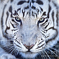 Khan The White Bengal Tiger by Dianne Phelps