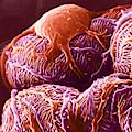 Kidney Glomerulus, Sem by Don W. Fawcett