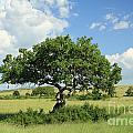 Kigelia Pinnata Tree by Deborah Benbrook