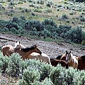 Kiger Mustangs At Mineral And Water Source by Craig Downer