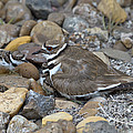 Killdeer And Young by Anthony Mercieca