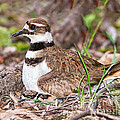 Killdeer And Young by Timothy Flanigan