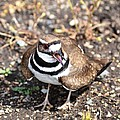 Killdeer Bird by P S