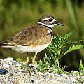 Killdeer by Diane Carlson
