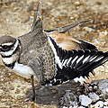 Killdeer Fakeout by Shane Bechler