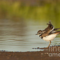 Killdeer Fluffing Up On The Shore  by Bryan Keil