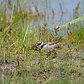 Killdeer Hatchling by Maria Urso
