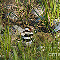 Killdeer by Linda Freshwaters Arndt
