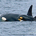 Killer Whale Mother And New Born Calf Orcas In Monterey Bay 2013 by California Views Archives Mr Pat Hathaway Archives