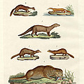 Kinds Of Otters And Marten by Splendid Art Prints