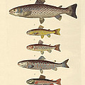 Kinds Of Trouts by Splendid Art Prints