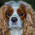 King Charles by Dale Powell