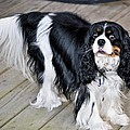 King Charles On The Boardwalk by Kristina Deane
