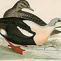 King Duck by Beverley R. Morris