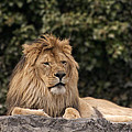 King Of The Jungle by Cindy Haggerty