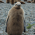 King Penguin Chick by Amanda Stadther