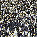 King Penguin Colony by Tony Beck