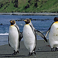 King Penguin Trio On Shoreline by Konrad Wothe