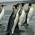 King Penguins Coming Ashore by Amanda Stadther