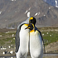 King Penguins Courting St Andrews Bay by Konrad Wothe