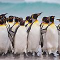 King Penguins by David Beebe