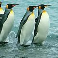 King Penguins Going To Sea by Amanda Stadther