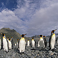 King Penguins On Rocky Beach South by Colin Monteath