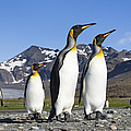 King Penguins St Andrews Bay South by Konrad Wothe