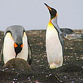King Penguins With Chick And Egg by Laurel Talabere