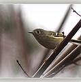 King - Ruby Crowned Kinglet - Bird by Travis Truelove