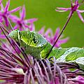 King Swallowtail Caterpillar by Heike Hultsch