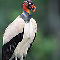 King Vulture In Breeding Colors by Tui De Roy