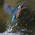 Kingfisher by Mike Lane