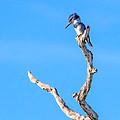 Kingfisher Perch by Mark Andrew Thomas