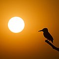 Kingfisher Sunset by Tim Gainey