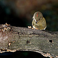 Kinglet On The Feed by Skip Willits