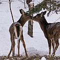 Kissing Deer by Cheryl Baxter