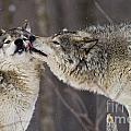 Kissy Face by Wolves Only
